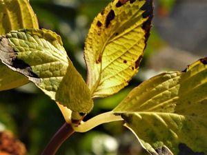 Un aurevoir aux hortensias