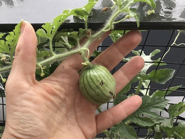 La culture de la pastèque (suite) des observations...et des recherches