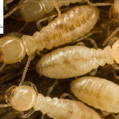 كيف يهضم النمل الابيض الخشب ؟ دورة حياة مستعمرات النمل الخشبي في المنازل احدث طرث حماية الاثاث الخشبي