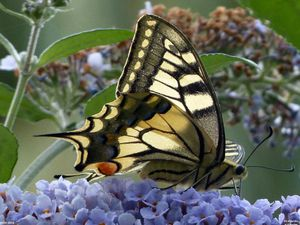 Machaon - Papilio machaon.