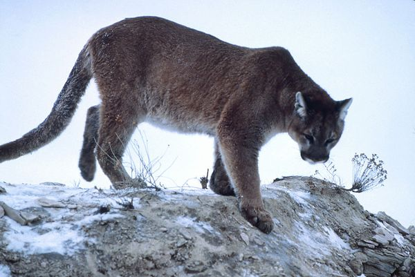 Mountain lion climbing down rock, Yellowstone National Park