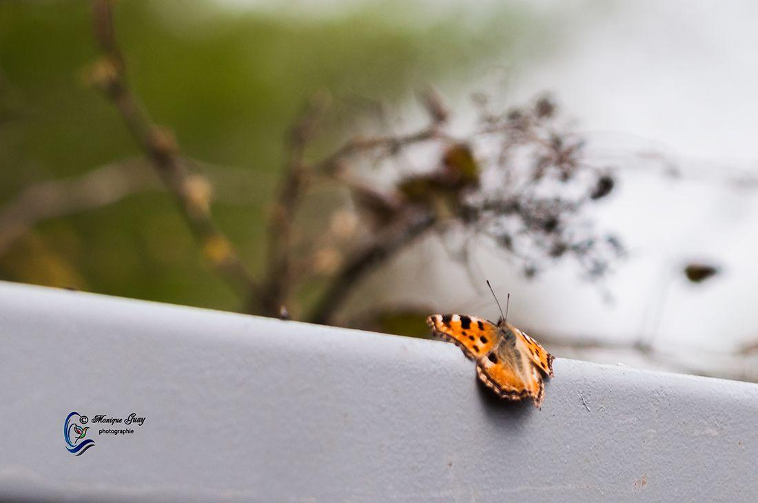Papillon tortue
