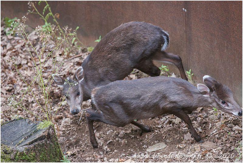 Un cerf huppé cherche à sentir la zone péri-anale d'une biche, qui conserve la queue baissée. Le refus de ce léchage est signe que la femelle n'est pas en oestrus.