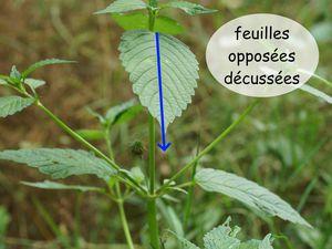 Feuilles opposées-décussées de plantes de la famille des Lamiaceae