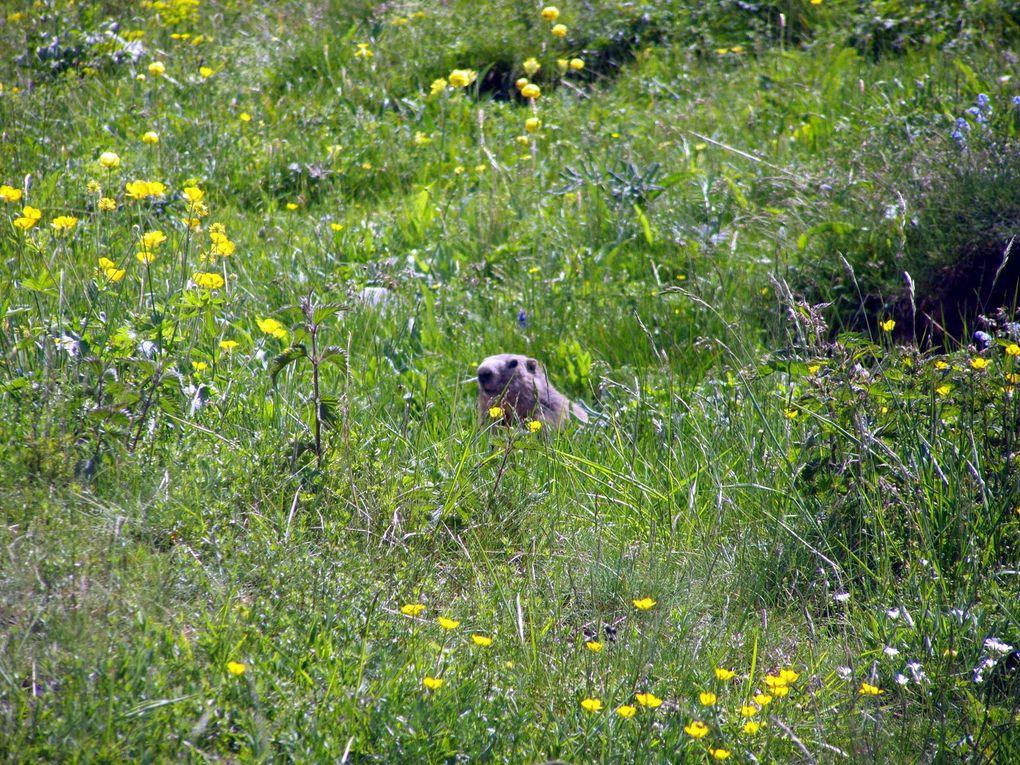 Exubérance de la flore dans les alpages du COL MARIAUD au dessus du hameau du Haut Vernet ( Alpes de Haute Provence )
