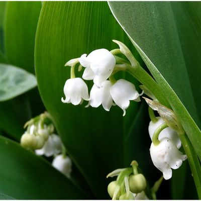 Muguet en avance - 2 photos