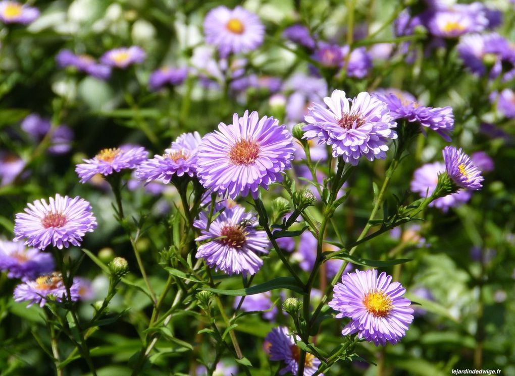 Aster - Aster sp