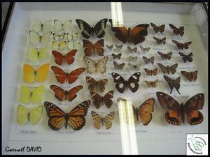 Des papillons de Martinique dans les Muséums métropolitains