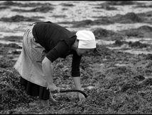Récolte du goémon à l'ancienne... (  fête des goémoniers du 30 août dernier à PLOUGUERNEAU - Nord Finistère)