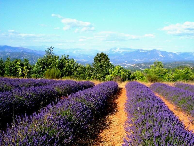 LAVANDES - lavandins - paysages de senteur  ---   CLIQUEZ ci-dessous pour SONORISER !
