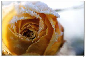 POESIE : Impromptu sur une rose