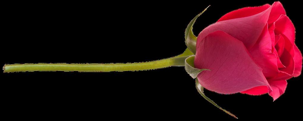 Jardin des roses (Éléments) - Garden of roses  (Elements)