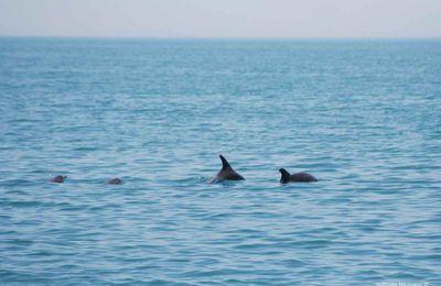 Les dauphins des eaux turques