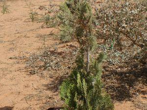 Deux arbres en hommage à Marie Taty