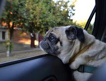 Canicule: les bons gestes si vous voyez un animal enfermé dans une voiture