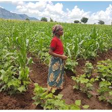 Le Mozambique considère les cultures GM comme un moyen de réduire la pauvreté et d'assurer la sécurité alimentaire
