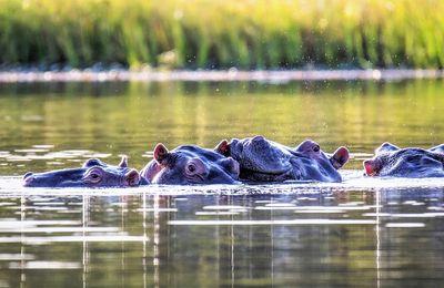 Photos d'Hippos