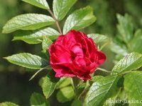 b9. Les rosiers en S. de Si. à So.