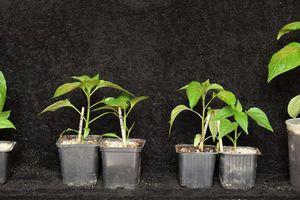 Faire ses plants de poivrons avec ou sans matériel : qu'est-ce qui marche ?