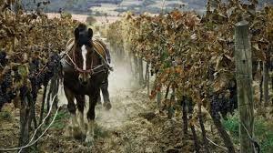 La Viticulture au Chili