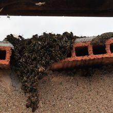 Mercredi spectacle sur la cheminée avec l'essaim, les frelons et le gerko