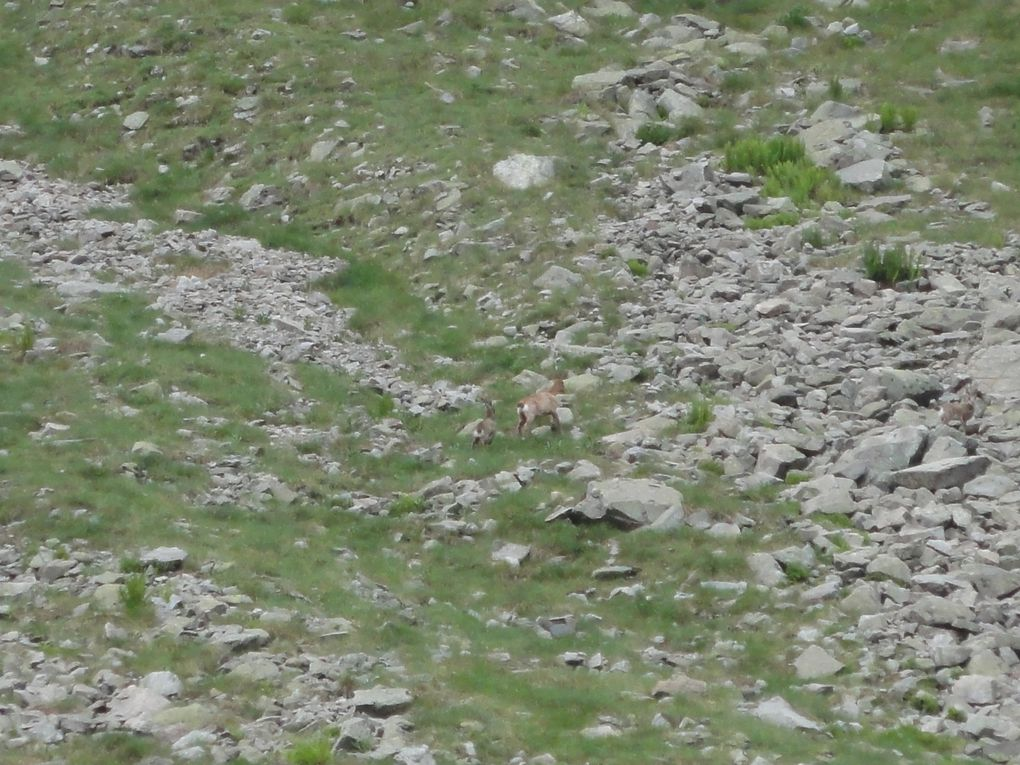au détour du sentier, haut sur les pierriers nous apercevons une harde d'isards, un peu plus loin juchée sur une grosse pierre c'est une marmotte qui nous observe,