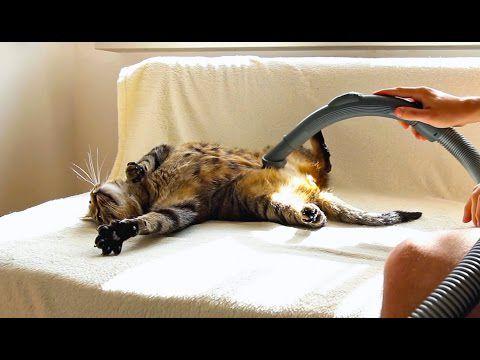 Un chat qui adore les aspirateurs