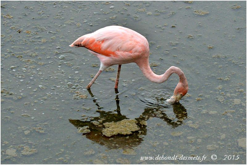 Flamant des Caraïbes  (Phoenicopterus ruber)