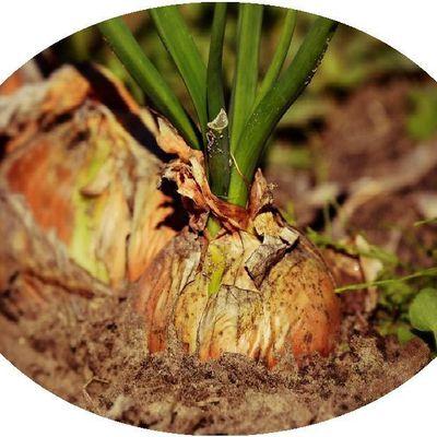 Santé par les plantes: L'oignon