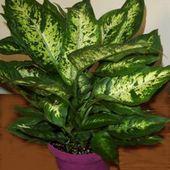 Le dieffenbachia ( dangereux ?) - Botanic-santé