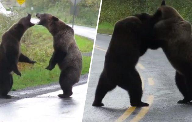 Une femme capture un rare combat de grizzli sur un film