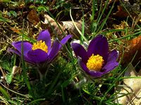 Anémone pulsatille ou coquerelle (Anemone pulsatilla). Photos : René Michaud (Cliquer pour agrandir)