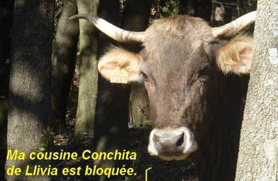 Même vaccinée la vache catalane ne passera pas !