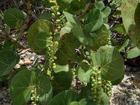 De nombreuses espèces florales viennent colorer l'île. Parmi elles des orchidées, des alpinias, des balisiers et des hibiscus, que l'on trouve le plus souvent dans les jardins et les parcs . En bord de mer poussent le raisinier, les lianes rampantes et le mancenillier...
