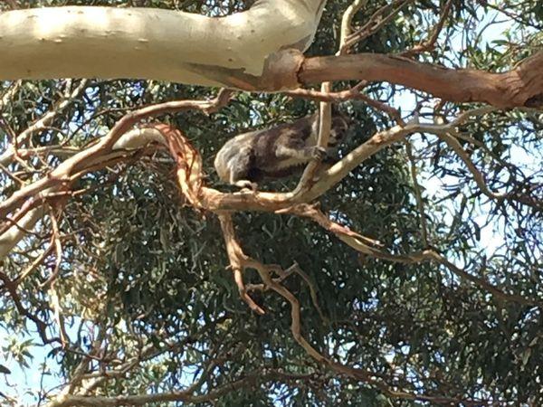 Ornithorynques, kangourous, koalas et autres...