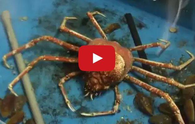 VIDEO - changement de carapace en direct pour un crabe-araignée