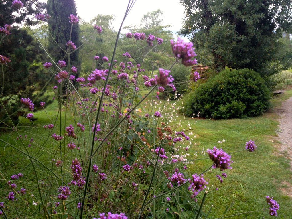 Verbena bonariensis (3 photos)