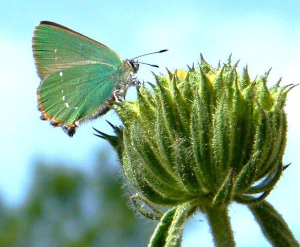 L'argus vert ou Thécla de la ronce. (2)