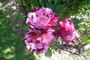 Le jardin Le Clos fleuri en juin  - Lejardinleclosfleuridansladrôme.com