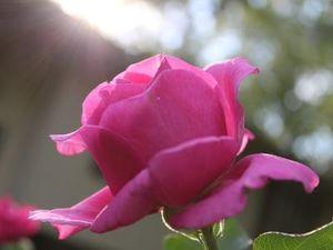 mes roses... la la la la la