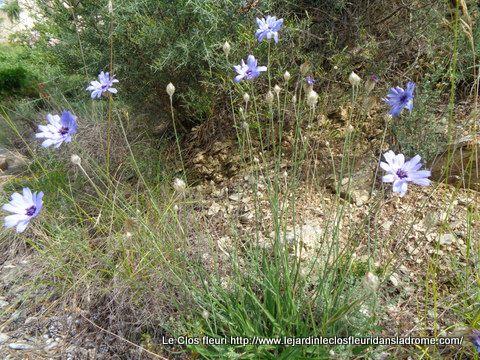 Cupidone bleue    Catananche caerulea  L.   Compositae