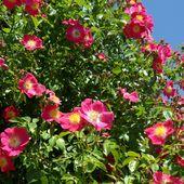 b3. Les rosiers grimpants - plaisir-jardin.com