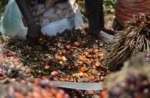 Olio di palma: ecco perchè tossico