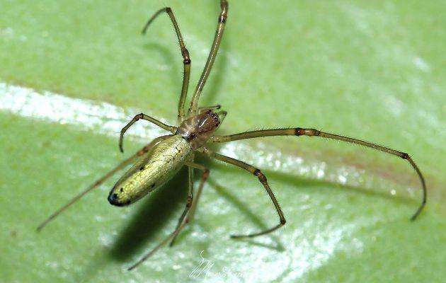 Araignée : Tetragnatha extensa