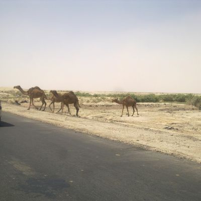 nICE SWEET CAMELS