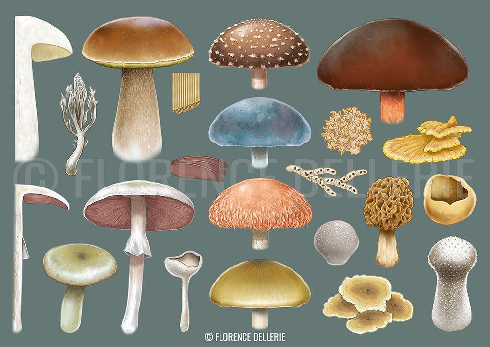 Illustration scientifique : mycologie et tablette graphique