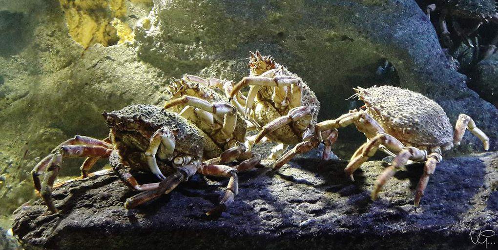 hippocampes, poissons, méduses, homards, araignées de mer, rascasses, oursins- Océarium du Croisic