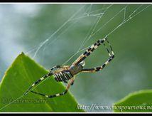 Araignée argiope bruennichi ...