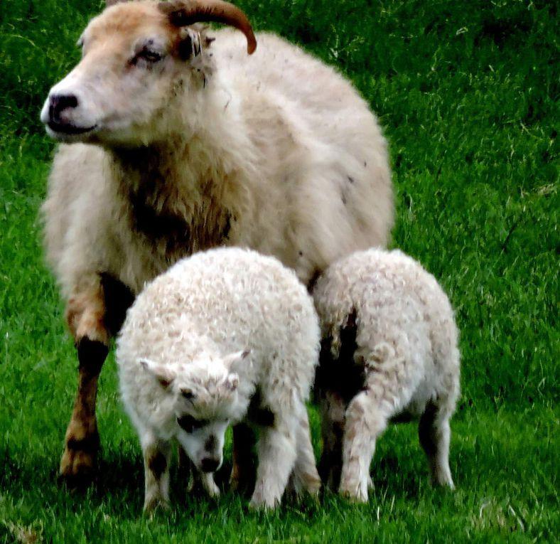 PHOTOS  YB ET MAQ : Là où il y a de l'herbe, ce qui n'est pas fréquent, les moutons ne sont pas loin