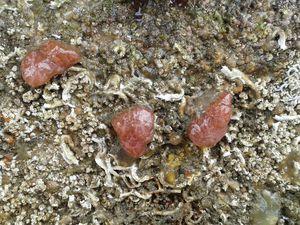 Non loin, un petit Oursin grimpeur entouré de Bernard l'hermite, installés dans différentes coquilles (Nasse, Pourpre et Cormaillot) ; à droite, de belles Ascidies rouges, genre Aplidium